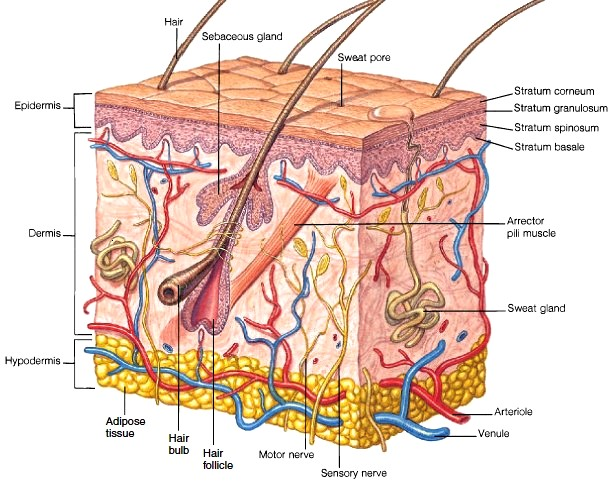 dermis anatomy of the skin - Naturally Healthy Skin